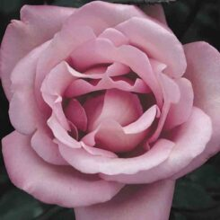 blue moon rose photo by rankins roses