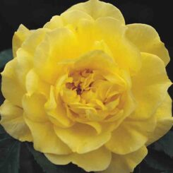 friesia rose photo by rankins roses