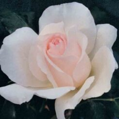 Mothers Love Rose photo by rankins roses