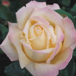 Peace Rose photo from rankins roses