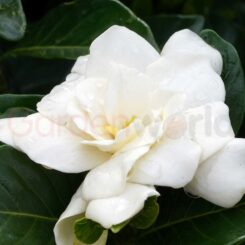gardenia magnifica large white flowers