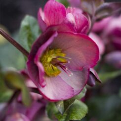 Hellebore Penny's Pink PMA images