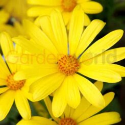 vivid yellow flowered african daisy