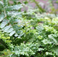Fern Assorted 12cm