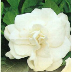 Aimee Yoshiba double petaled white flower