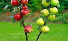 Multi Graft Fruit Trees