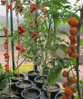 Growing Successful Tomato Plants Garden World