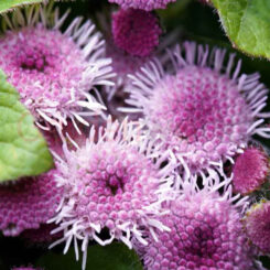 small pink flowered Ageratum
