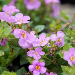 bacopa pink flowers