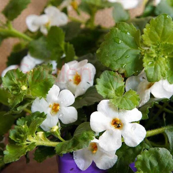 bacopa white flowers
