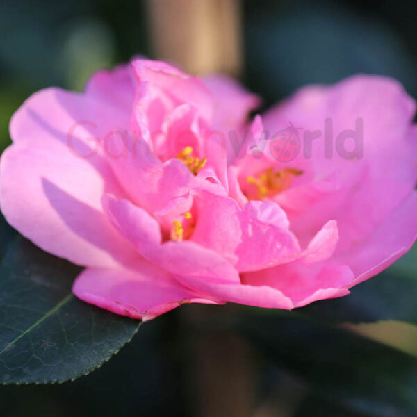 camellia with love pink flower