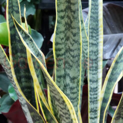 Sansevieria Laurentii green and gold foliage