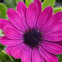 vibrant purple flowered african daisy