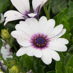 white petal purple centred african daisy flower