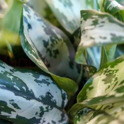Aglaonema Snow White foliage