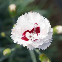 Dianthus coconut sundae white and red flowers
