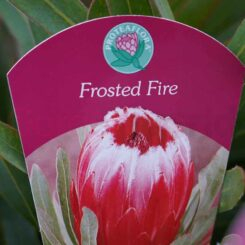 Protea Frosted Fire