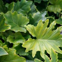 philodendron-hope foliage