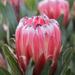 protea-frosted-fire proteaflora photo