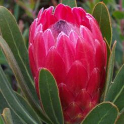 Protea Special Pink Ice proteaflora photo