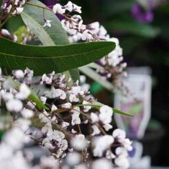 Hardenbergia Free and Easy