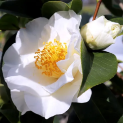 Camellia Silver Waves