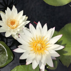 Zone 5 Plants & Water Lilies