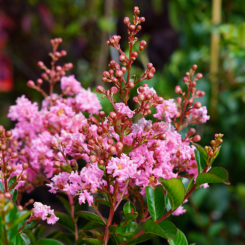 Lagerstroemia Sioux