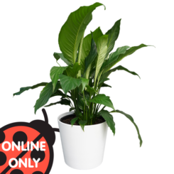 Indoor Plant Gift Large