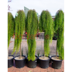 Acacia Waterfall Grafted Standard 40cm