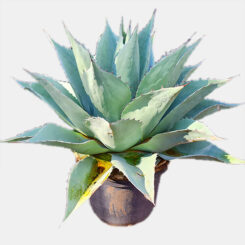 Agave Whales Tongue 50cm